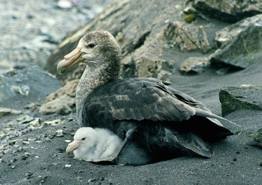 800px-Giant_petrel_with_chicks - Version 2